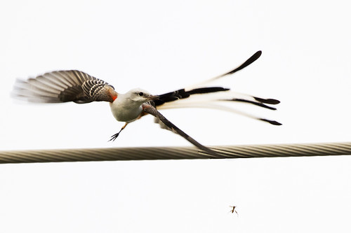 TX: Scissor-tailed Flycatcher--Success~!