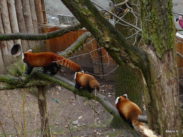 27-der Pandazug