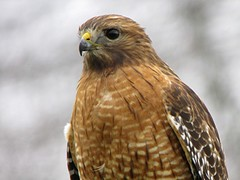 Red-shouldered Hawk/ My Yard/11-17-2013