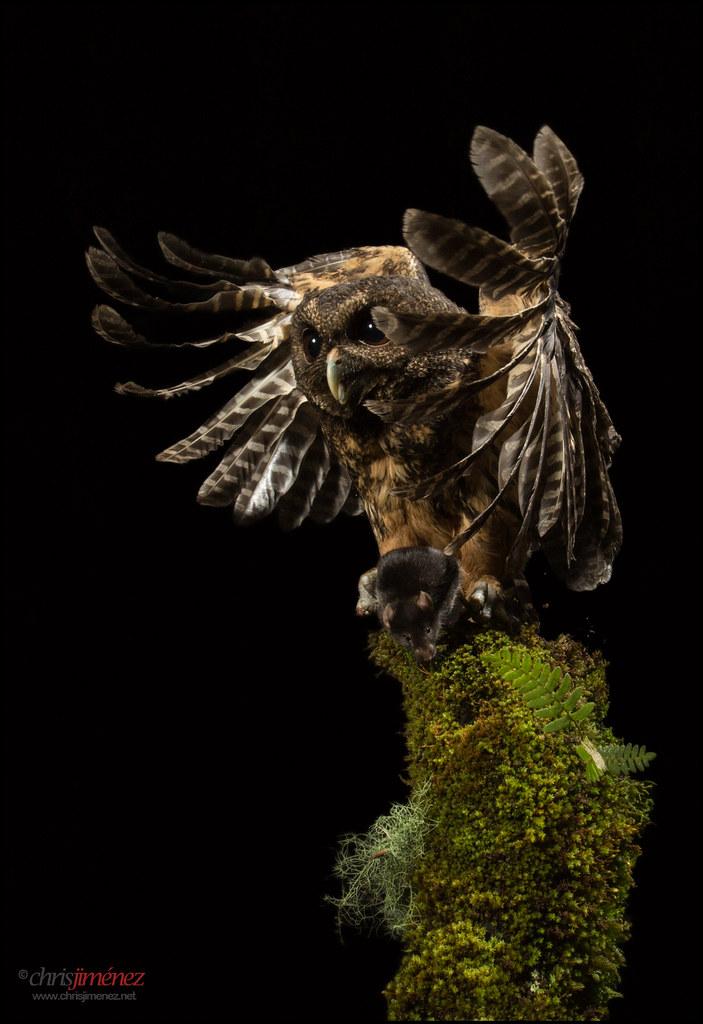 Mottled Owl (Ciccaba virgata) hunting at night