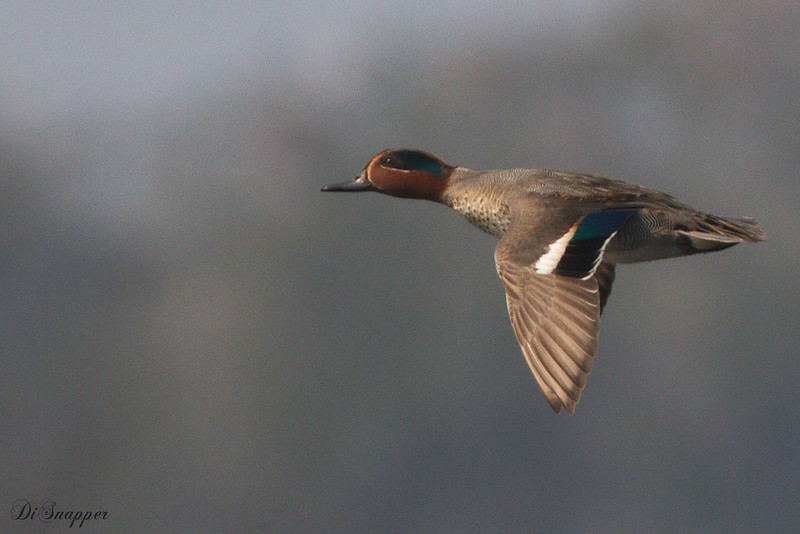 Teal male in flight