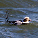 Long Tailed Duck - Nice Pose by arthurjsteinberger