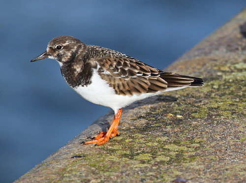 Turnstone Ramsgate Harbour by Kinzler Pegwell