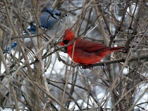 bluejay & cardinal