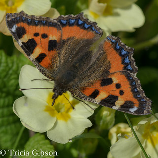 Another small tortoiseshell in the primroses!