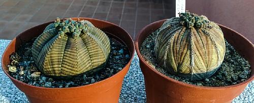 Euphorbia Obesa by evarujo