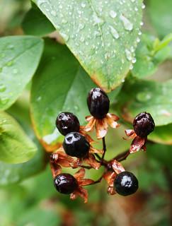 Tutsan berries