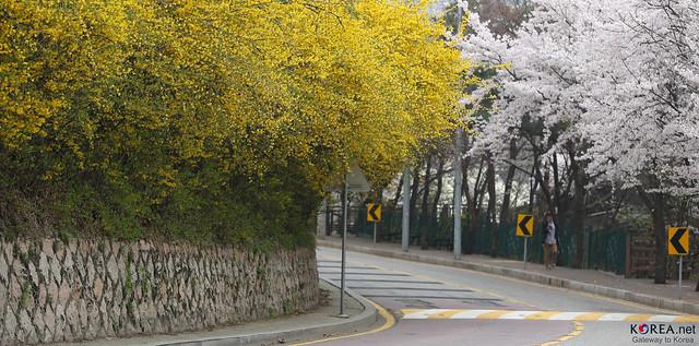 Korea_Inwangsan_Flowers_20140403_04