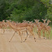 Small photo of Impalas (Aepyceros melampus) females and youngs