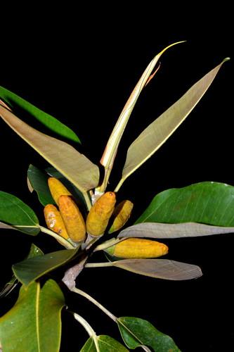 Ficus pleurocarpa DSC_0369 (5)