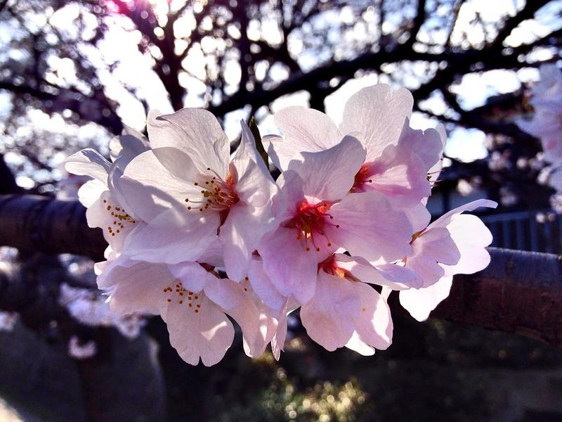 Sakura @Daito