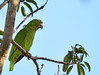 Papagaio-campeiro // Loro Coroniamarillo // Yellow-crowned Parrot