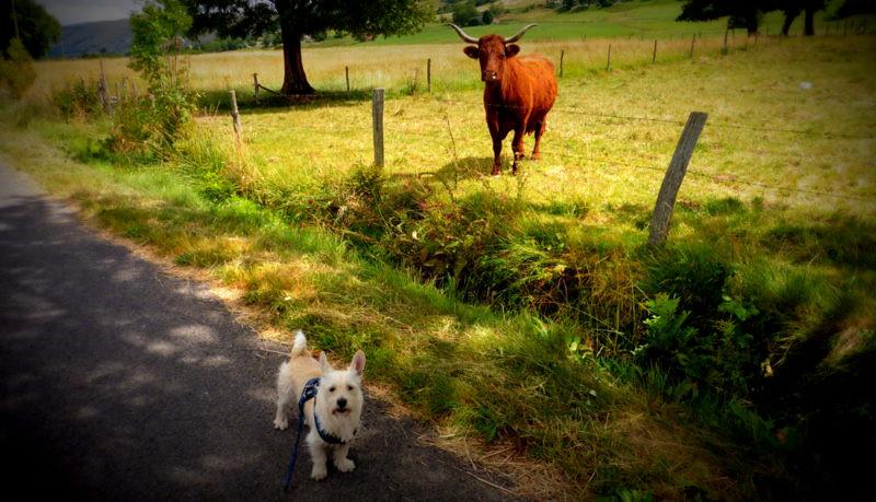 Le chien et la vache.