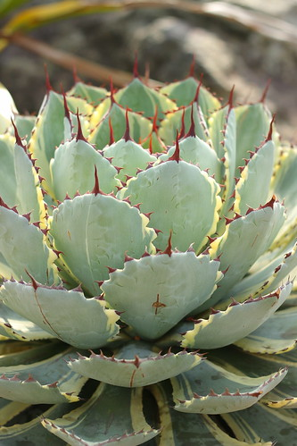 Agave potatorum 'Kisshoukan' f. varieg.