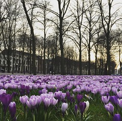 Another spring surprise. #denhaag #flowers #netherlands