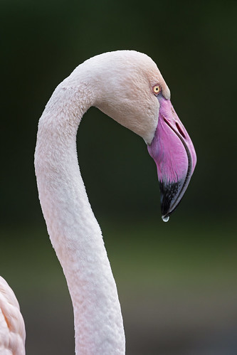 Flamingo with drop by Tambako the Jaguar