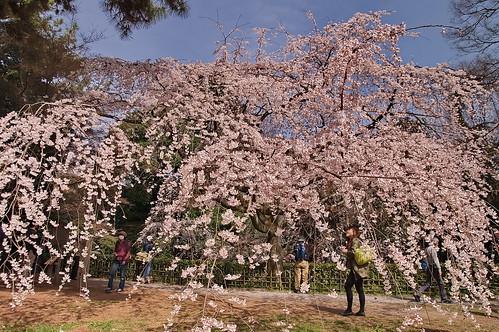 【写真】2013 桜 : 京都御苑/2020-10-30/IMGP8683
