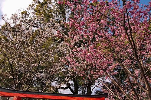 【写真】2013 桜 : 平野神社/2021-01-09/IMGP8714
