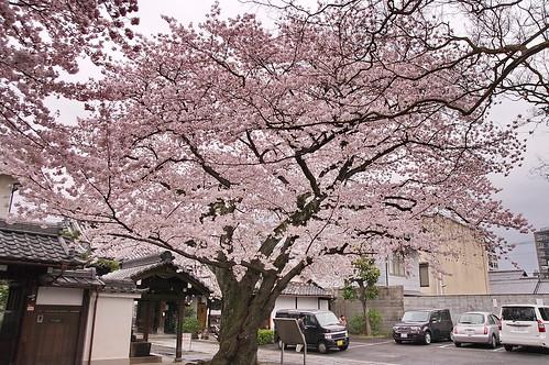 【写真】2013 桜 : 本隆寺/2020-05-19/IMGP9107