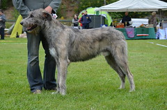 dog sports, animal sports, dog breed, animal, dog, scottish deerhound, sports, pet, irish wolfhound, conformation show, carnivoran,