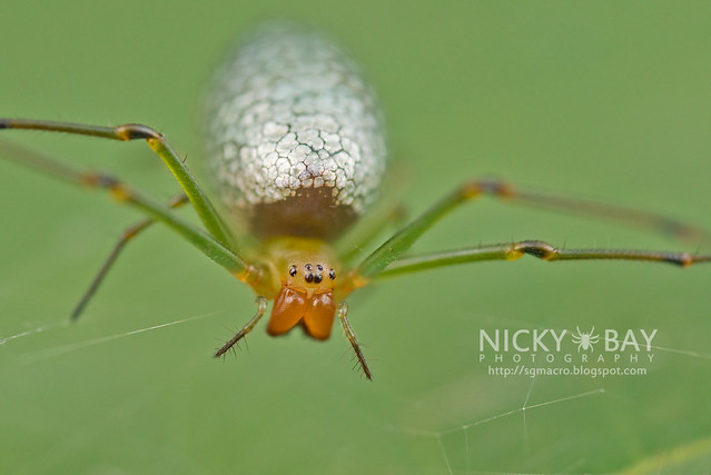 Big-Jawed Spider (Mesida sp.) - DSC_1427
