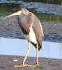 Tricolored heron by fishhawk