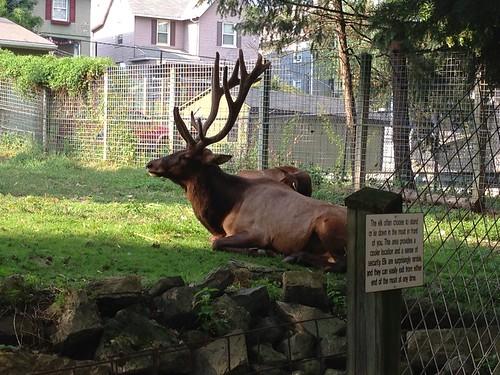 ZooAmerica - Elk