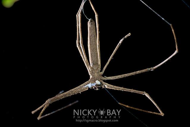 Net-Casting Spider (Deinopis sp.) - DSC_2143
