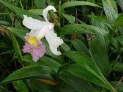 Sobralia mirabilis, Orchidaceae