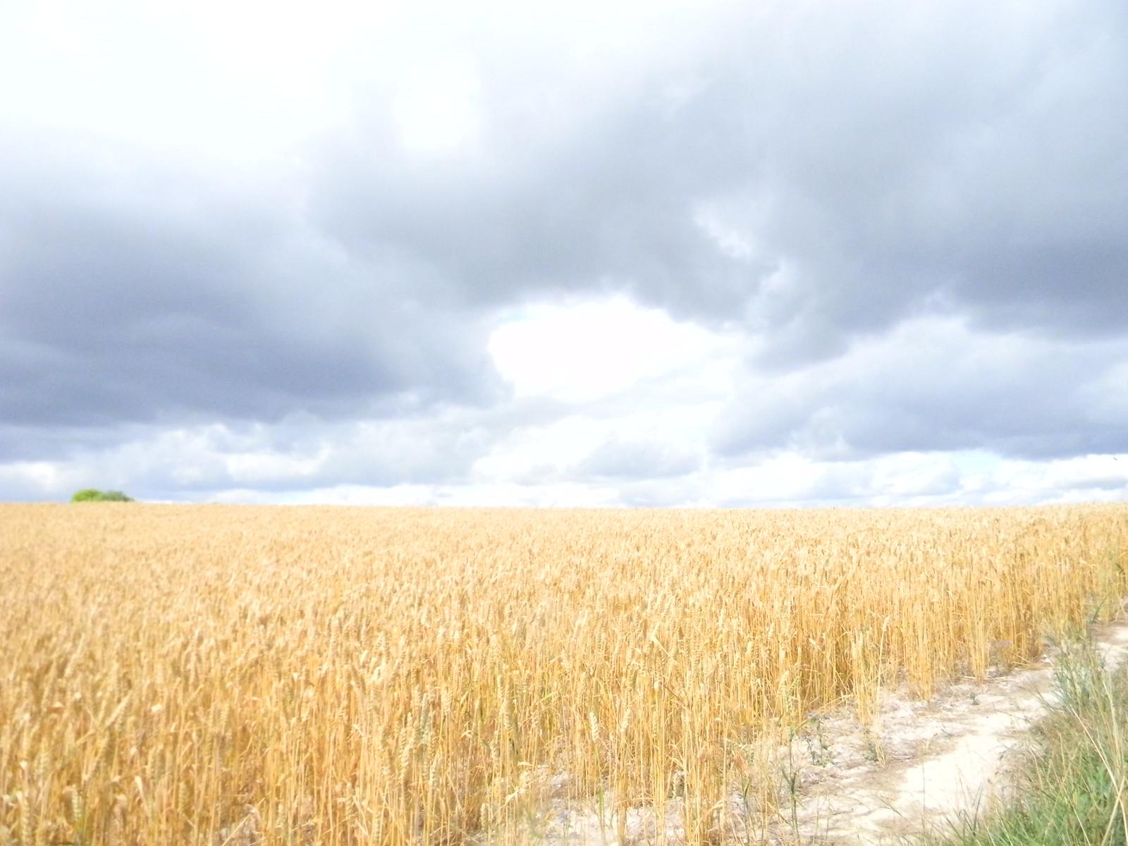 Wheat Saunderton Circular via Bledlow