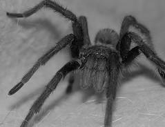 araneus(0.0), european garden spider(0.0), wolf spider(0.0), arthropod(1.0), animal(1.0), spider(1.0), invertebrate(1.0), macro photography(1.0), monochrome photography(1.0), fauna(1.0), close-up(1.0), tarantula(1.0), monochrome(1.0), black-and-white(1.0),