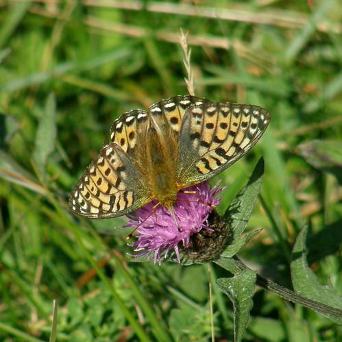 Avid nectar feeder III