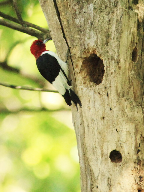 Red-headed Woodpecker drumming at nest tree 20130903
