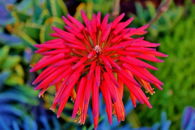 Tropical Island Flowers: Tropical Flower In Catalina Island