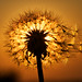 Dandelion Silhouette by Jim Crotty