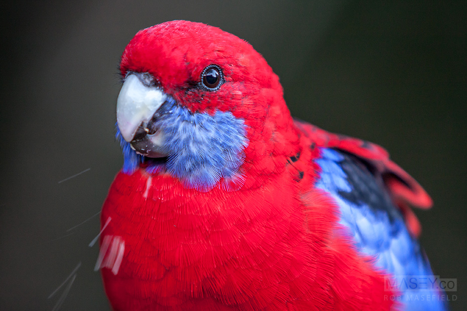 Probably the most attractive bird in in the mountains - the crimson rosella.