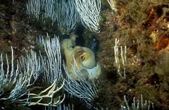 Octopus vulgaris Cuvier, 1798 - Banyuls-sur-Mer, Sec de Rédéris : 07/1995