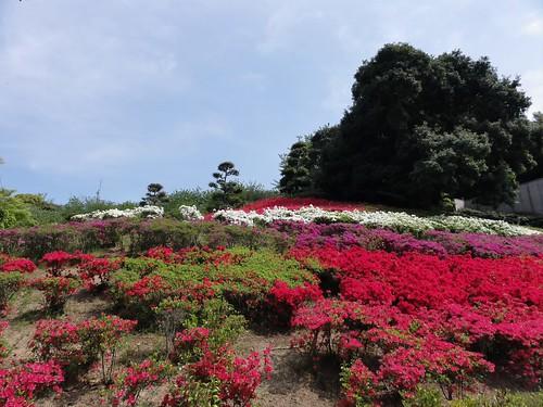 island shikoku azalea ehime ツツジ imabari 今治市
