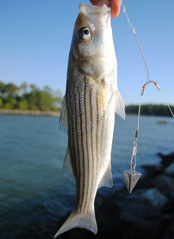 Striped Bass (Morone saxatilis) Полосатый лаврак
