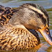 duck macro by canonshot1012