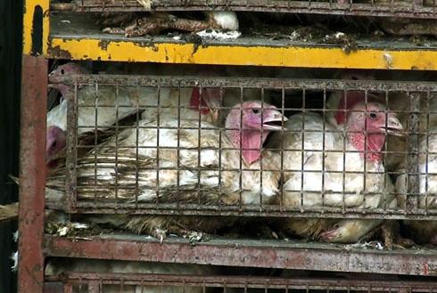 זוגלובק - תרנגולי הודו ממתינים שעות בכלובים מזוהמים