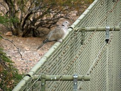 Birthday Birds #4: Eurasian Collared-Dove