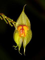 neu für Orchideenstiftung