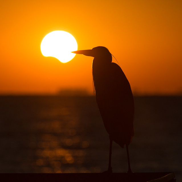 Partial Solar Eclipse with Great Blue Heron Silhouette - St Petersburg