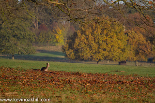 Fallow season, Richmond Park, autumn 2013
