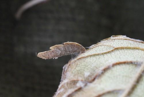 Coleophora limosipennella larval case on Elm
