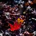 枯れ落ちてなお鮮やかに - A fallen leaf -