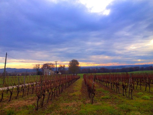 Winter vineyard in South France