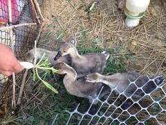 搶吃蘿蔔葉。