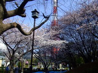 朝8時半・桜